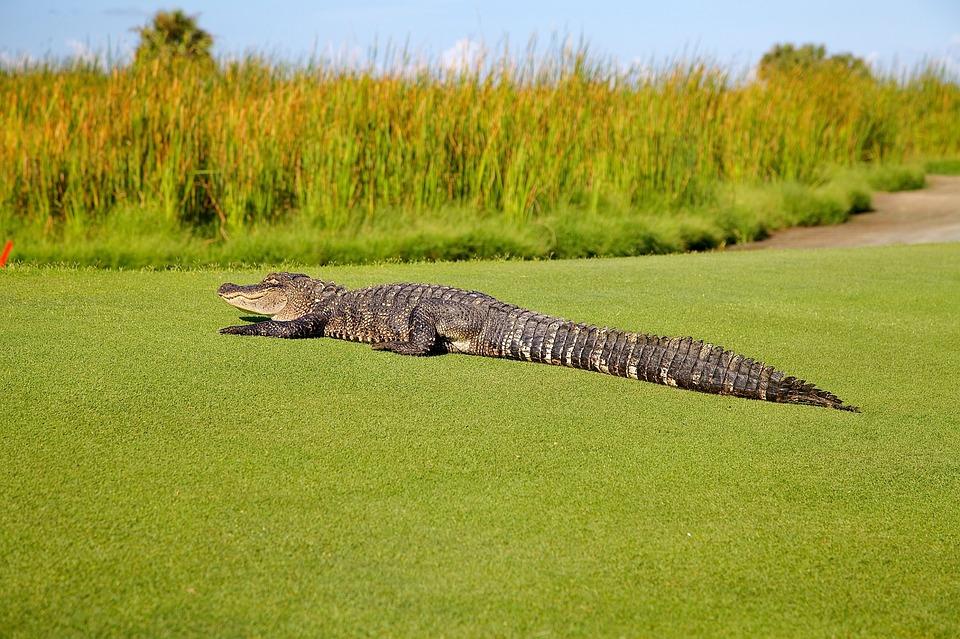 alligator-1593887_960_720